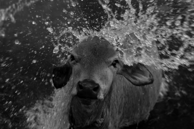 Купание золотистого теленка