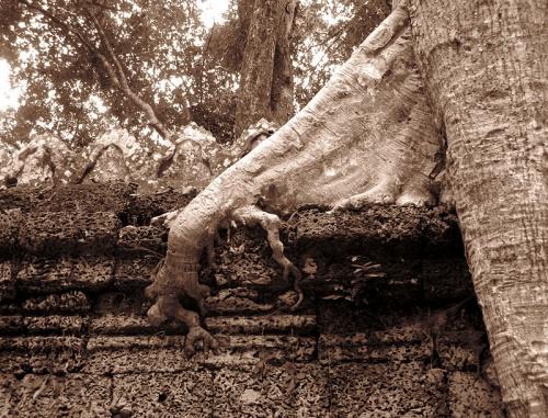 Рука дерева, вцепившаяся в стену храма Preah Khan
