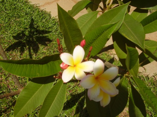 цветок манго