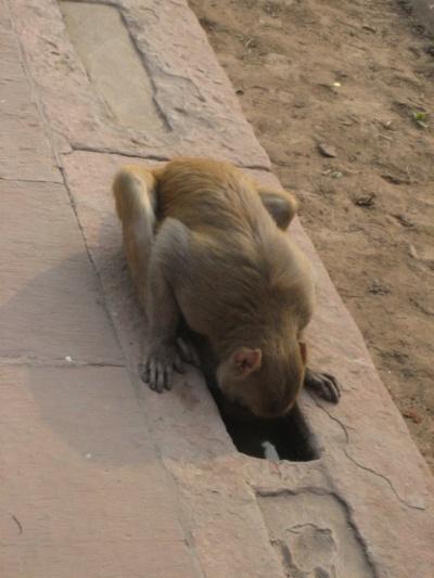 и наглая обезьяна