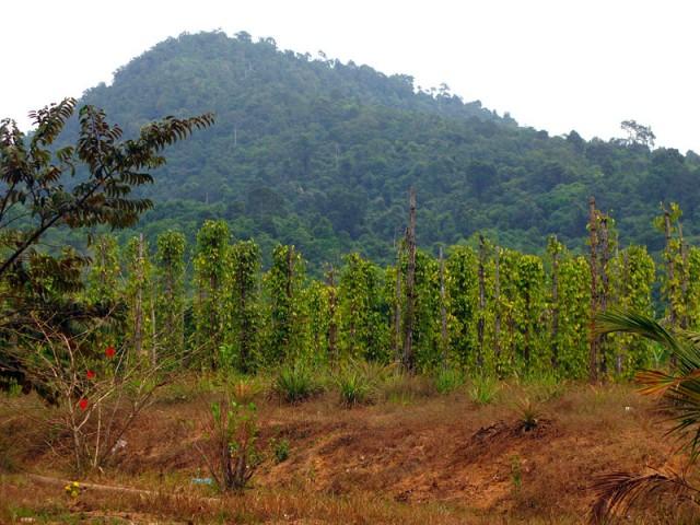 Так растет фукуокский перец, гордо, на фоне гор