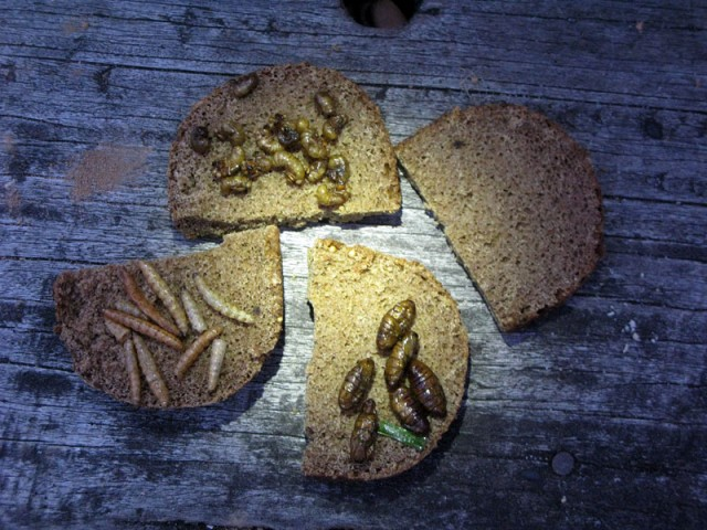 Будерброды из черного украинского хлеба с... жареными шелкопрядами!