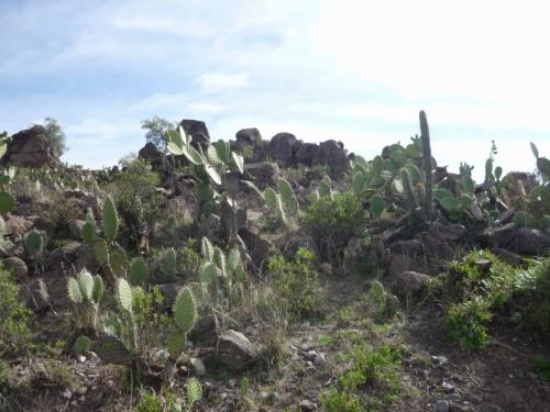 через кактусовые заросли