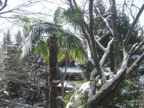 и пальмы под снегом)