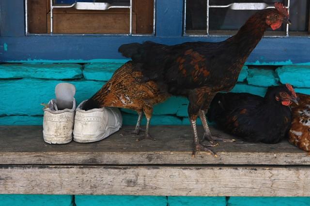 Курица и ботинок.