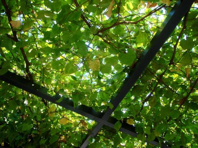под виноградными лозами