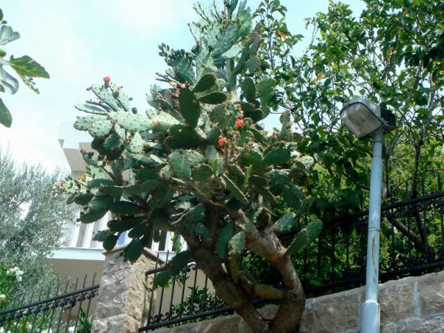 кактус вырос