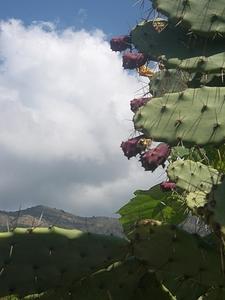 Кактусы в Тивате