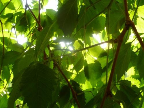 солнце и дикий виноград