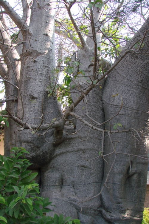 баобаб из Манду-1