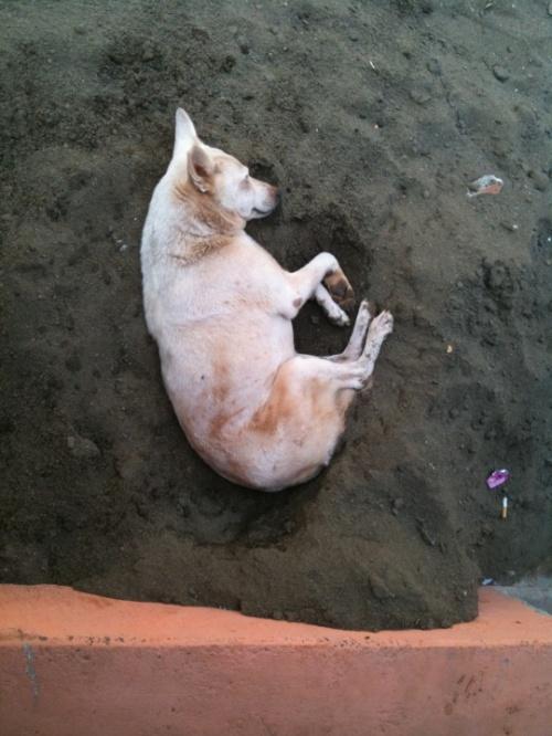 Собака не на сене