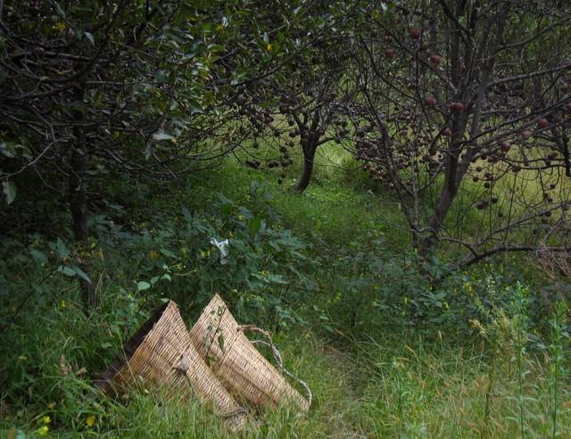 яблочный сезон подходит к концу