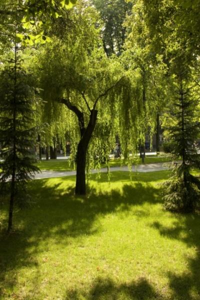 Дерево, которое бросает не тень, а свет