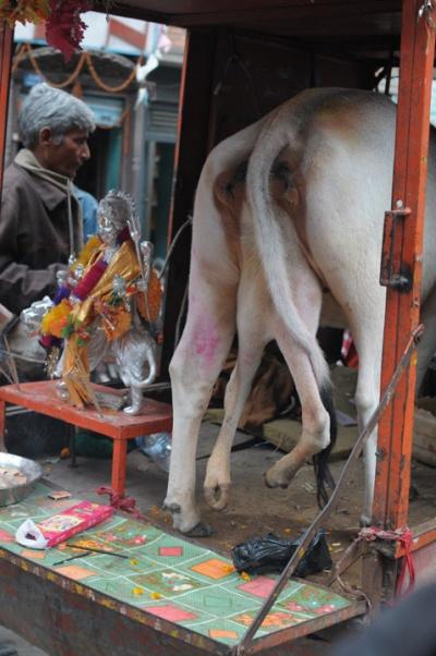 Шестиногая корова