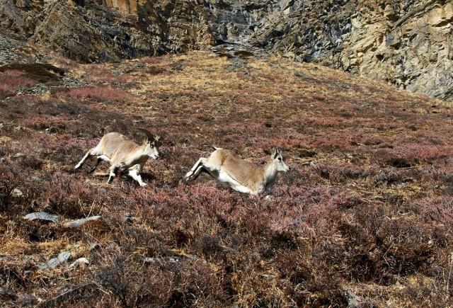 Любовные игрища горных козлов