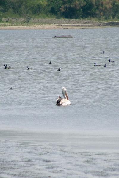 Длинный плавающий предмет вдали – бегемот