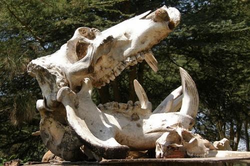 Череп мертвого бегемота