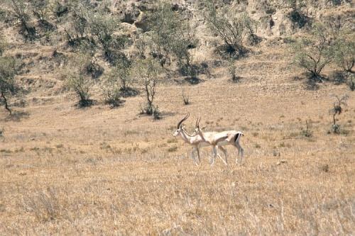 Две антилопы