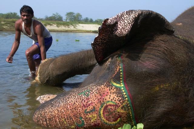 Купание слонов в Читване 11
