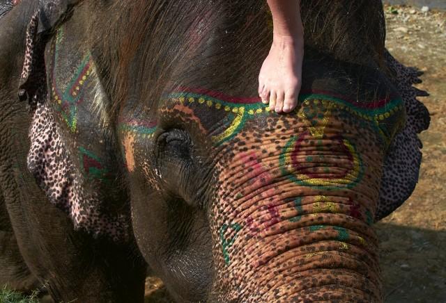 Купание слонов в Читване 6