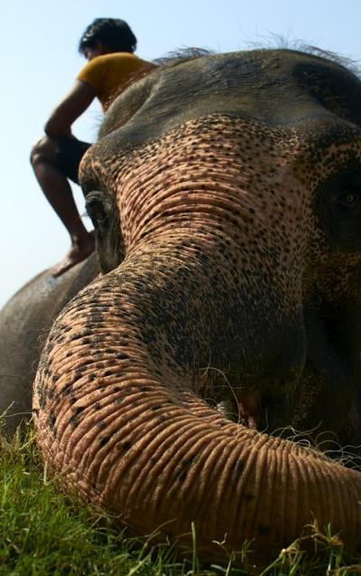 Купание слонов в Читване 8