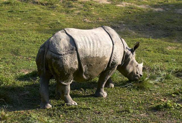 Носорог жрет травку