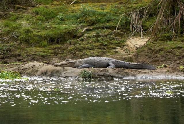 Крокодил в Читване