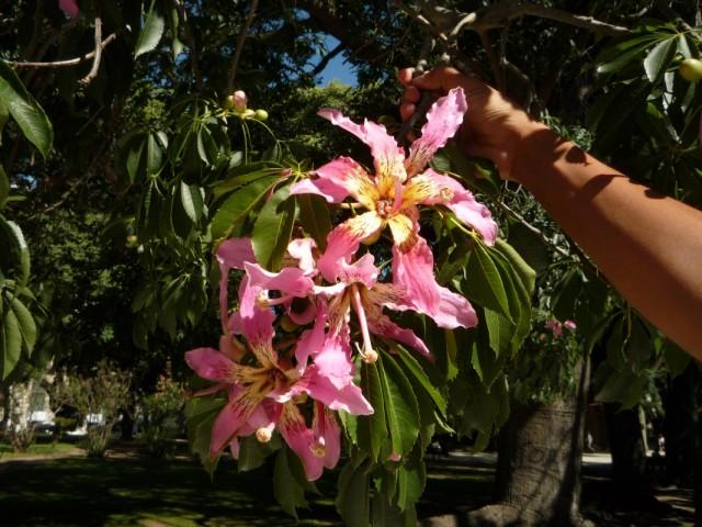 Цветок Бутылочного дерева.