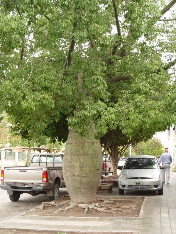"""""""пьяное дерево"""""""