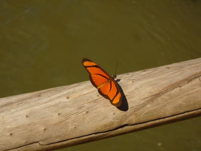 бабочки в Игуасу