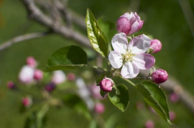 Цветок персика