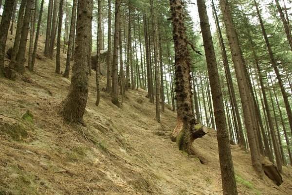 Сосновые лес в горах