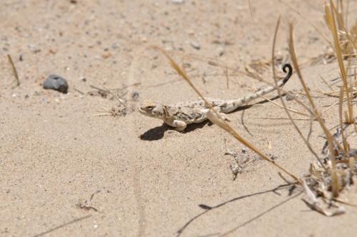Мелкий варанчик у берегов Озера ракшасов