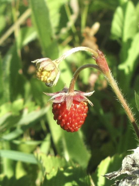 Собирали ягоды