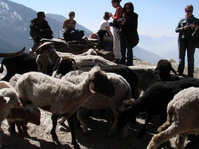 Не с этими ли козами-овцами?