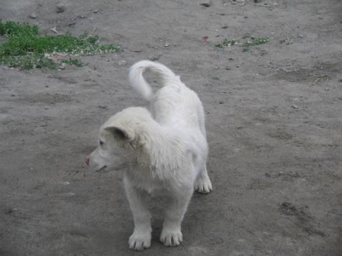 собака Кейлонга