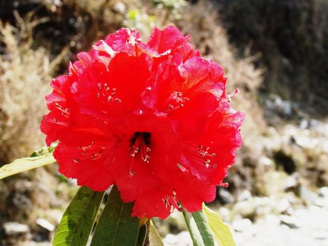 Гималайский рододендрон