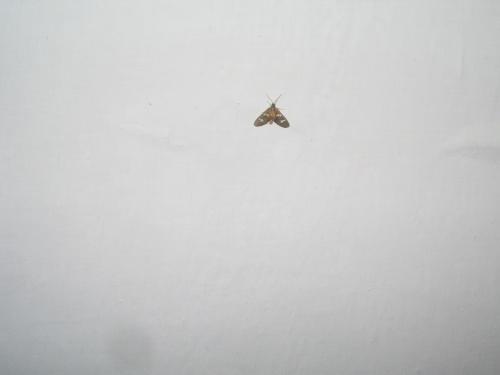 ночная бабочка Казы 3