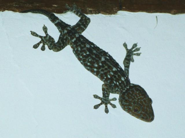 В душевой жил большой геккон