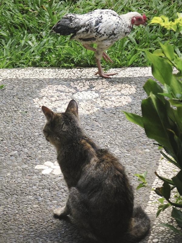 Приходили в гости кошки и курицы