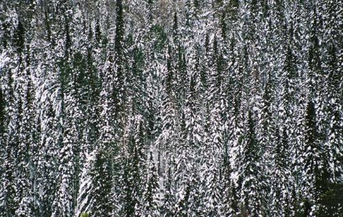 снежёлки