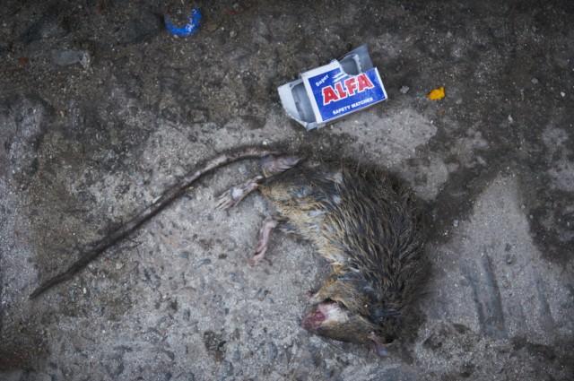 Крыс ко