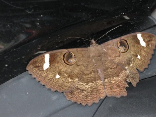 Бабочка на моем мотосае:)