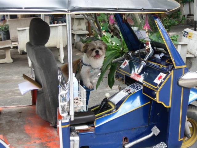 Вы разве не знали, что в Чианг Мае собаки работают водителями тук-туков???
