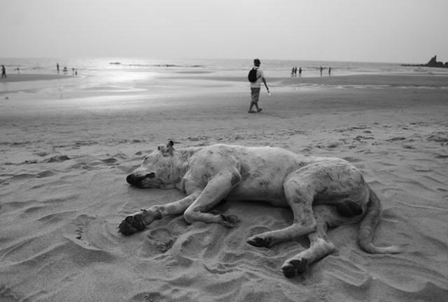 собачьи сны