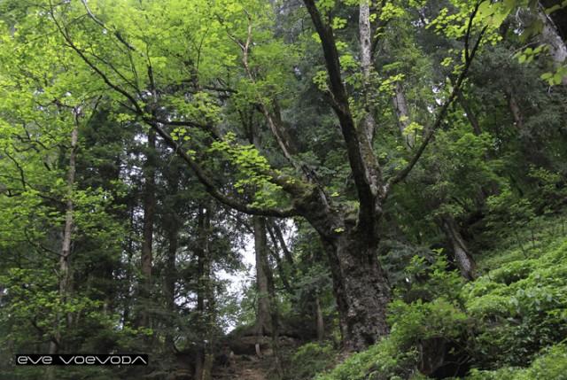 Вековечный лес