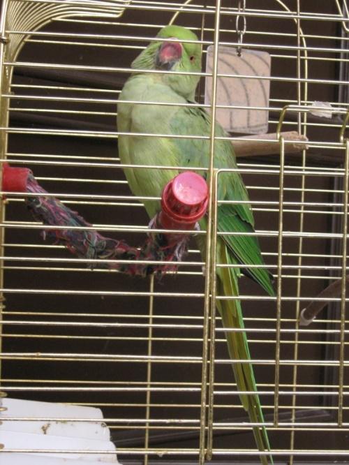 попугай из пансиона