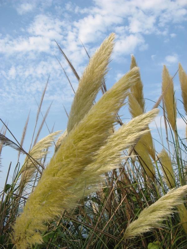 вот такая трава тут популярна в народе