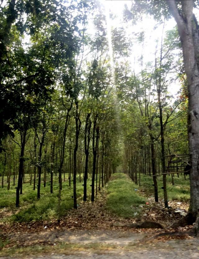 Плантации каучука на Суматре