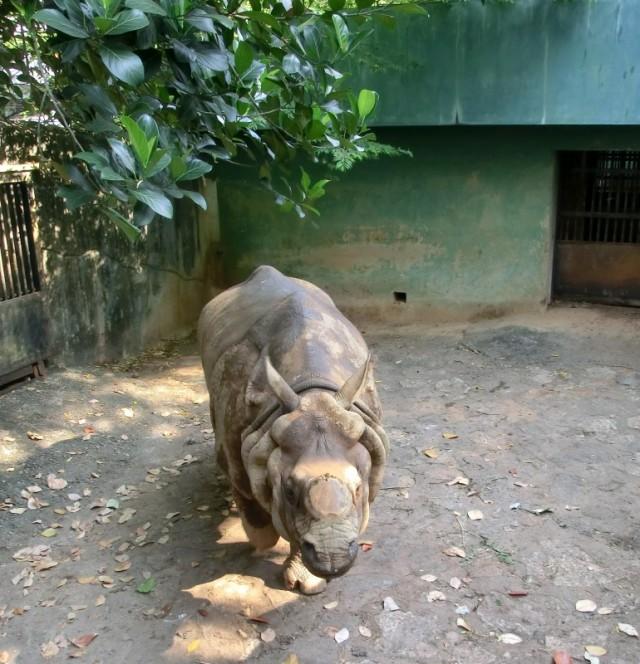 Безрогий носорог